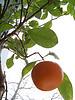 Eterisk Olja Mandarin 10ml