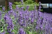 Eterisk Olja Lavendel 10ml