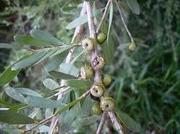 Eterisk Olja Tea Tree 10ml