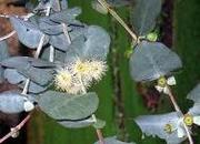Eterisk Olja Eukalyptus 10ml